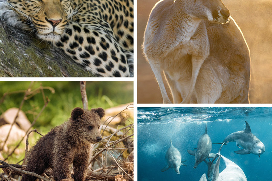 leopard, kangaroo, bear cub and dolphins collage