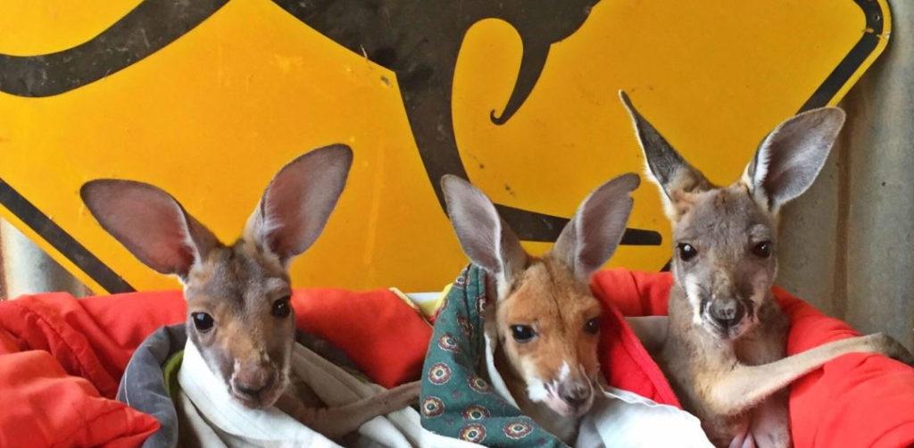 Kangaroo sanctuary