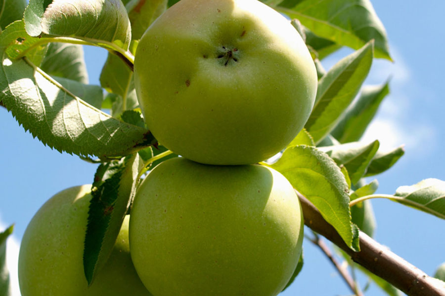 green apples in tree